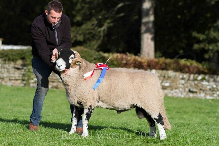 'D' District Ram Sale – Aged & Shearling Rams