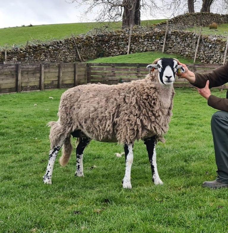 Tan Hill & Eastgate Alternative Swaledale Sheep Show