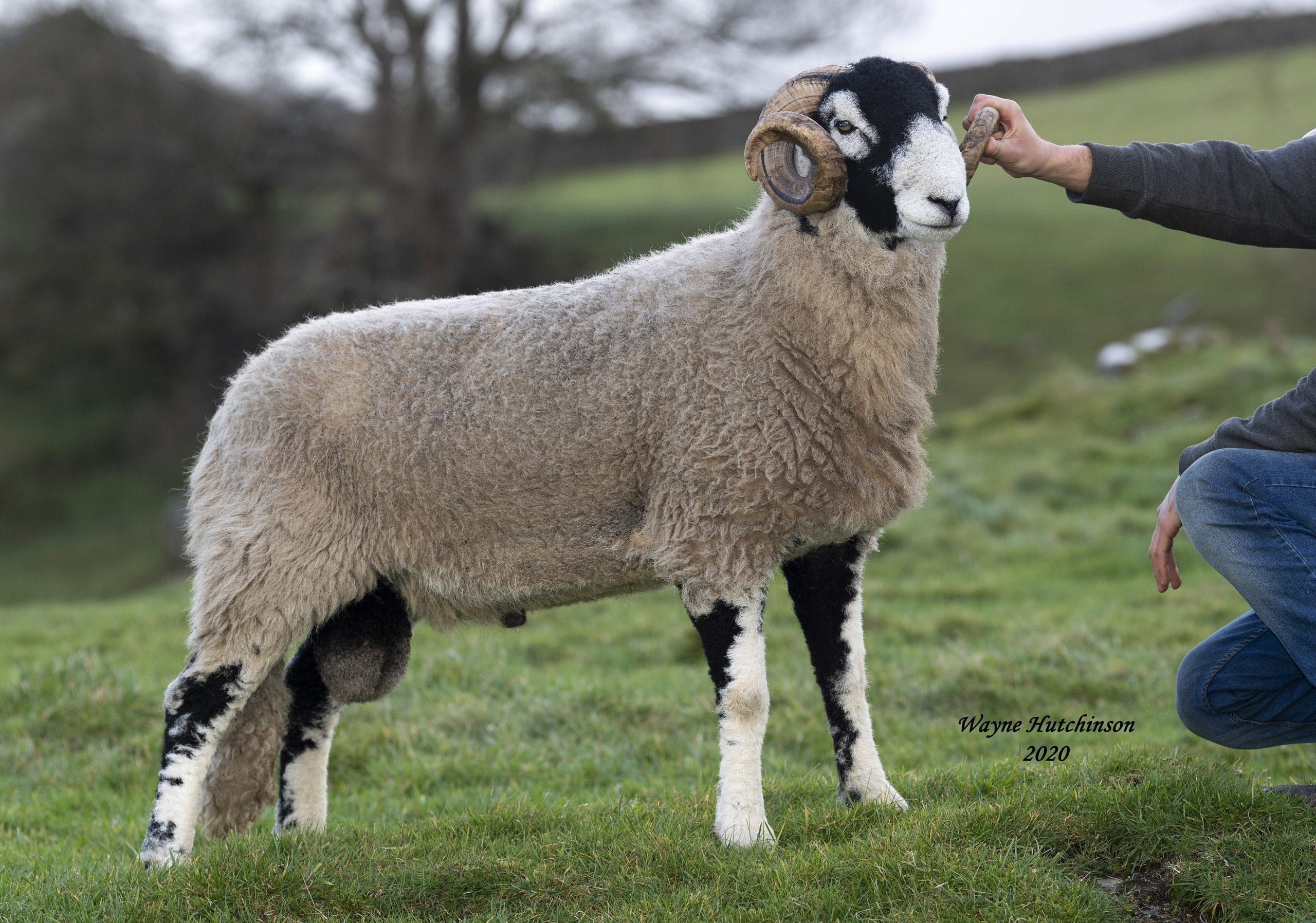 B District Shearling Rams Day 2 – 29th October 2020