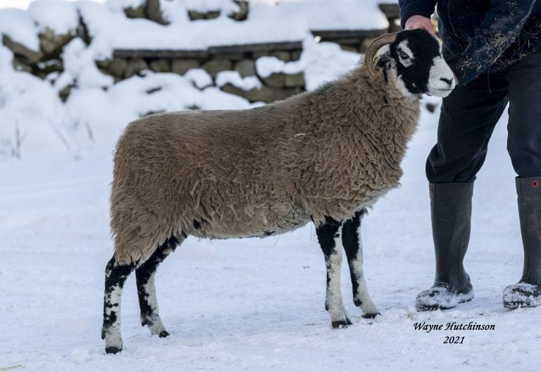 Kirkby Stephen Inlamb Ewe Sale – Wednesday 10th February 2021 – Report